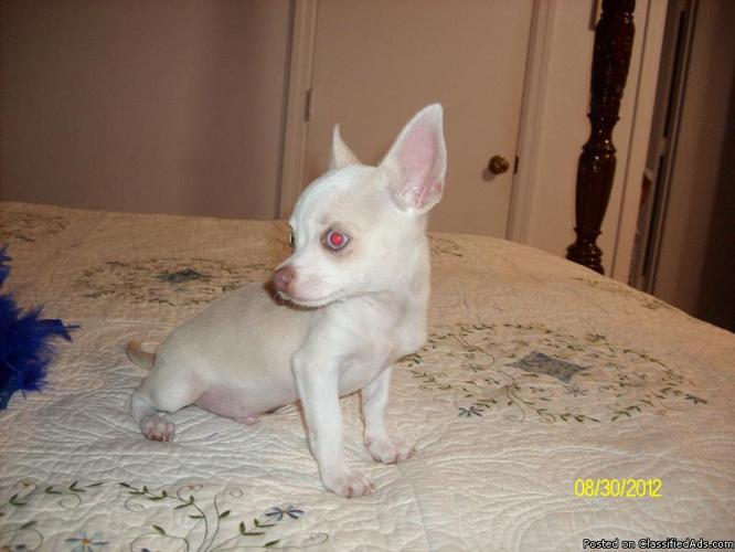 Tiny Little Male Chihuahua Smooth Coat Rare Color Est full growth 2.5 to 3 pd - Price: $550.