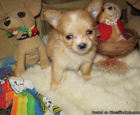 Tiny Long Coat,CKC Applehead Chihuahua Girl 3to4lb Grown - Price: $600