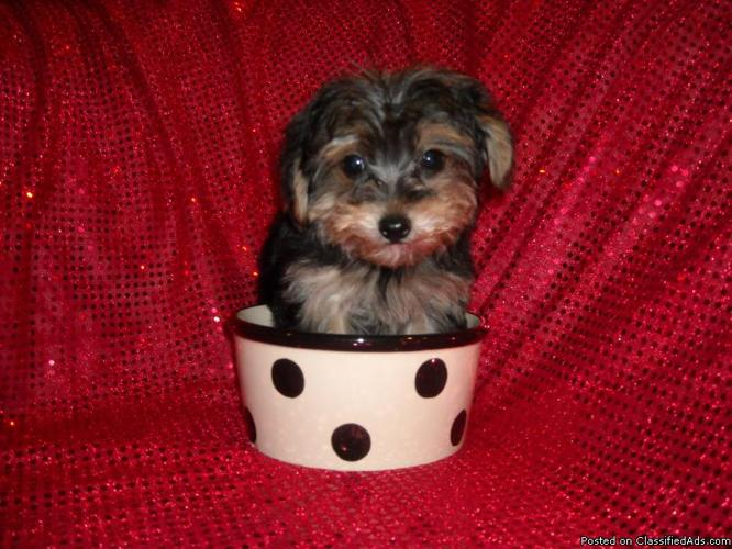 TINY T-CUP YORKIE MIX NONSHED MALE - Price: 750