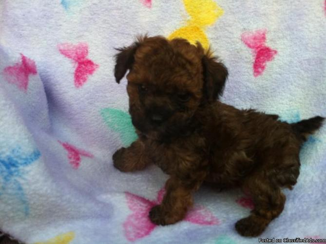 Tiny Toy Poodle Puppies Akc For Sale In Bentonville
