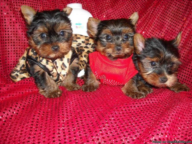 TINY YORKIE MALE NONSHED 1 LEFT REDUCED - Price: 699