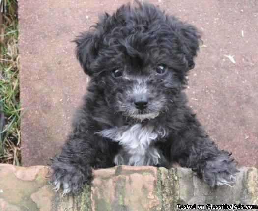 Toy Poodle Pups for Sale - Price: $500