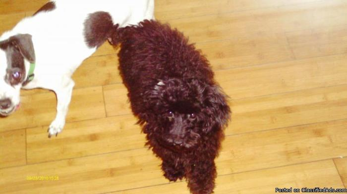 toy poodle pups - Price: 150.00