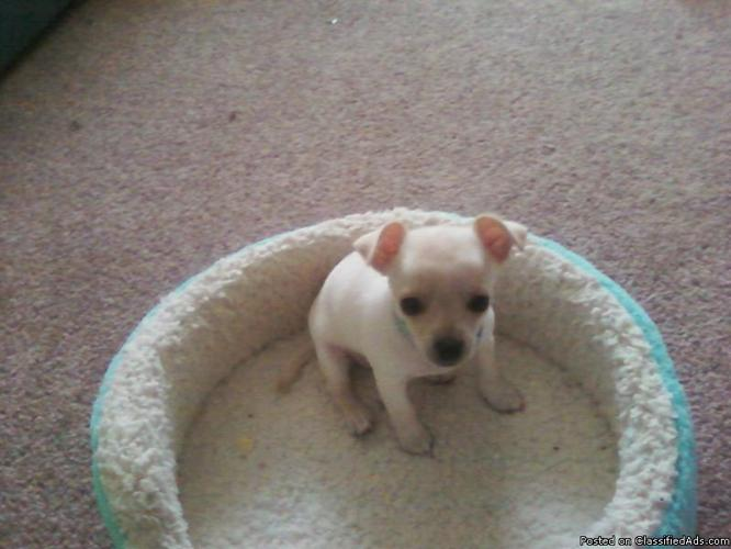 Two Lovable Tea Cup Chihuahua Puppies Price 15000 Each For Sale