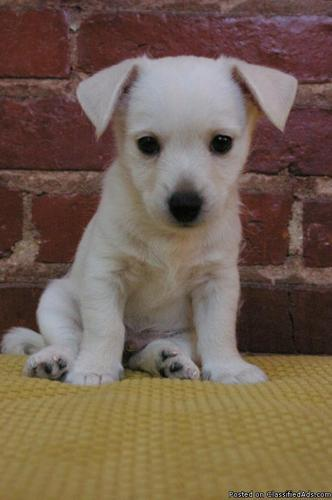 Westie Westie Chihuahua Mix Male Puppy Price 350 For Sale In