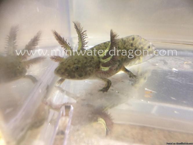 Wild type Axolotls for sale!