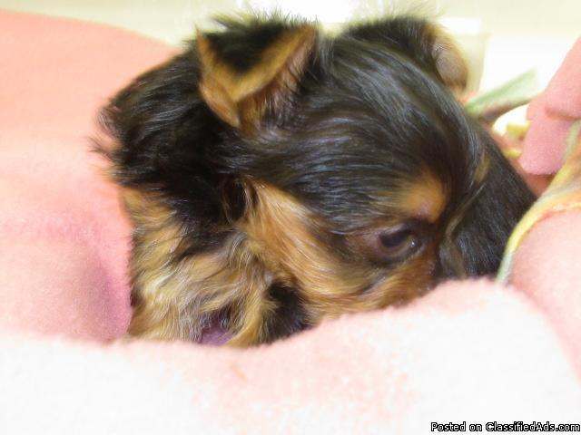 www.angiespickapet.com Tcup yorkies, maltese, chiahuahs , maltese , morkies, plus more than 50 other breeds available. Pet locating and delivery service. - Price: starting at 300