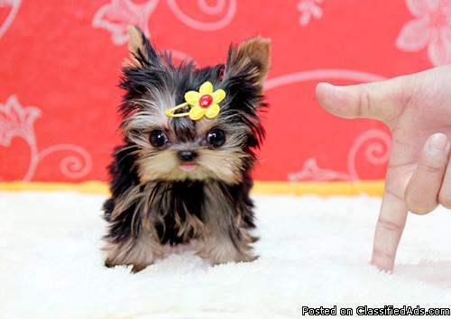 X-Mas Teacup Yorkies Pups For Your Family Now Ready to go (302) 583-3553 )