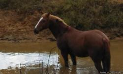 Bubba is a 15 yr old sorrel gelding that stands 14.3 and is very stocky, and is an easy keeper.He crosses water, bridges and rides by road side. Has been ridden in parades and plenty of trail miles. Husband no longer wishes to ride, so need to sell