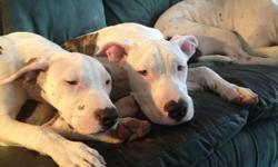 1/2 Pittbull 1/2 American bulldog puppy 6month old male. Please serious inquiries only call Nicole @ -