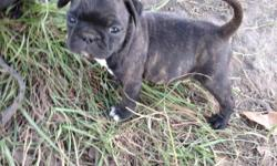 CKC 1/2 PUG 1/2 Boston Terrier $300 call or text for more Information and pictures. 228-218-7771