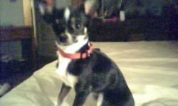 tan 6 and a half month old female chihuahua, no papers, black with brown and white mixed, male, 7 months proven(apri) tiny chihuahua are in need of a home ASAP serious inquiries only 175.00 for female / 400.00 for male