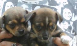 2 female hybreed pups