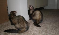 I need to find a forever home for my two ferrets, Kenshi and Shellie. They are both a little over 2 years old. They will come with their 4 story ferret nation cage, the remaining food which is about 1 1/2 bags right now, the remaining litter which is