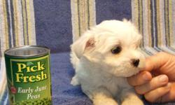 We Have 2 Boy AKC Registered Maltese,Born 4-22-11 Will Be 8 Weeks Old 6-17-11.Asking $400.00 Each, Picked Up In Farmington, Mo. Delivery Is X-Tra...ALL Our Babies Are Microchipped And Registered And Have a Written Shot Record And A Written 6 Month Genetic