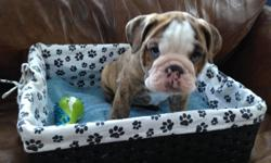 Hello there,     What we have here are 3beautiful male Bulldogs. These are the only 3 left froma healthy litter of 8. They are 8 wks old and will be ready to go by3-14. I have ownedbulldogs for the last 20