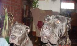 7 year old female cane corso....large,,,,145 lbs....must find home for....husband ill and cannot take care of....sweet personality....great protector.....call and ask for Rich 561-688-4400 for details