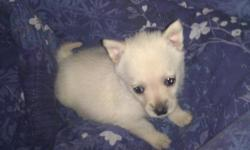 8wk old female cream colored Pomeranian/Maltese. She was bottle raised since she was only a few weeks old and is now ready for her forever home. Has been in a home with a small dog, large dog and 2 cats. No small children as she is a tiny girl. She has