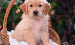 AKC REG. Golden Retriever Puppies For ADOPTION TEX US ON () Oustanding and cute ? Golden Retriever Puppies Available TEX US ON () ?