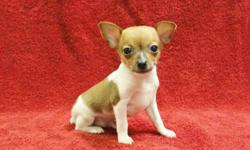 ACA Toy Fox Terrier puppy 1 Male, Born 5-29-16, $400 EA, Champion Bloodlines, Tan and White colored, ACA American Canine Association Papers. All Puppies have tails docked & dew claws removed. Current Worming & Shots, Health Guarantee, Nationwide