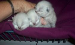 Adorable,Himalayan kittens.seal point male and 2 tortie point females.these babies come from my pets and are dearly loved from day one.they will all have blue eyes.dewormed and ready to go 8-31-2011.taking deposits.call 563-324-3622