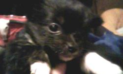 Adorable chi-pom puppies! Mama is long-haired chihuahua. Dad is champion pomeranian. One female, one male. Male is black with tiny bits of white on paws and chin. Female is black with white feet and white on chest. Family-raised, very sociable and