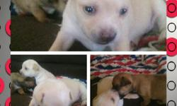 I have two adorable female chihuahua puppies.They're tan&white.&they will be8weeks as of November 13,2013. They also have there first set of shots&first de worming.Parents have very good temperament&are great with children.(both parents are on site)