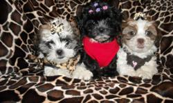 GORGOUS MALTESE/SHIH TZU, 3 FEMALES, NONSHED SILKY COATS, SHOTS, WORMINGS, POTTY TRAINED ON PEE PADS, CRATE TRAINED, GREAT LAP BABIES, GREAT TEMPERMENT, SOCIALIZED DAILY WITH FAMILY AND KIDS, READY TO GO NOW TO FOREVER HOMES, 8 WKS OLD, PUPPY COMES