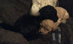 1 black female and 2 apricot males. Puppies are 9 weeks and have had their first shot and dewormer.