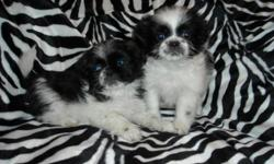 WE HAVE ADORABLE SHIH TZU PUPS, NONSHED COAT, HYPO ALLERGENIC, SHOTS, WORMED, POTTY TRAINED ON PEE PADS, CRATE TRAINED, WONDERFULL LAP DOGS, WELL SOCIALIZED DAILY WITH FAMILY AND KIDS, READY TO GO TO NEW HOMES, 8 WKS OLD, PUPPY COMES WITH A GOODY HANDBAG,