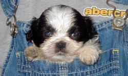 We have a litter of super sweet and playful shihtzus.They are up to date on shots and deworming.We can meet in mc kinney.Please call 580-271-0061..We have all colors of pups