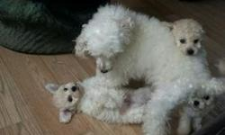 Adorable litter of pedigree toy poodle puppies Puppies are being raised in the home. They will be 8 weeks old. They will make excellent loyal companions and loving pets and are lovely with children. They will leave for new homes with 4 weeks free