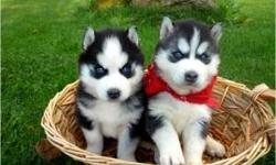 Affectionate and Lovely Siberian Husky Puppies,,Contact Us Directly Via Text Only At 267-579-2901 or 267-579-2901