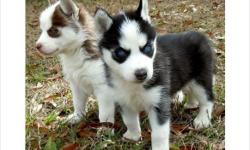 Affectionate Siberian Husky puppies text us at --