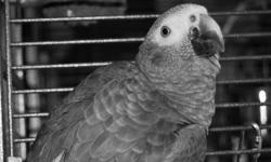 I need to re-home my birds as soon as possible . Mars is a 10 yr old Goffin Cockatoo and Mercury is a 5 yr old Timneh African Grey. I have a large double cage, large tree perch & toys. I am asking $1400.00 or best offer for both birds or individual.