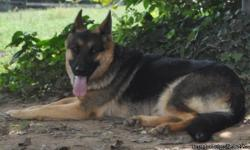 AKC Full registration, un altered. Big Boned, well bred, house trained, excellent on leash, great companion, good with other dogs. To GREAT loving home only.