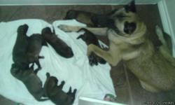 AKC Belgian Malinois from Champion bloodlines; show and work quality. 5 females and 2 males born 8/30/12; available locally on 10/17/12. Call for more pictures. Serious inquiries only.