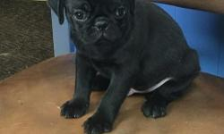 female and male pug puppies, fawns and blacks, will have both vaccinations, vet checked and leave from 10 weeks of age, will be microchipped, kc papers, 5weeks free insurance. For more information and prices text female and male pug puppies, fawns
