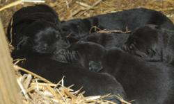 AKC Black Lab Puppies. Born 3/1/2011. Ready after 4/15/2011. The Mother is a double registered yellow lab and the father is an AKC registered triple chocolate (both on site). All puppies will have their first shots, de-wormer and AKC paperwork. $300 or a