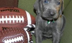 AKC blue weimaraner puppies born 1-10-2011. Ready to go to new homes 3-7-2011. Raised indoors with us. Tails docked, dew claws removed, worming, first shots, and letter of health from our vet. 4 males still available. Both parents are owned by us. Deposit