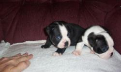 Akc boston terrier puppies,vet checked,declaws and tails done.will be dewormed.these babies come from my pets and not a big kennel.they are loved by me from day 1.it is important to me they go to good loving homes.2 out of 5 left.1male 400.00 and 1 female
