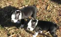 AKC Boston Terrier puppy 1 female left. Black & White, wormed, first shots, and vet checked. Ready for new home on 3/5/11. Please call 561-483-4123 for details.