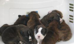 AKC Boxer puppies, tails docked, first shots, wormed and declaws removed. Please call --
