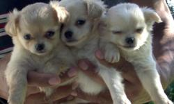 My chihuahuas should sell for $800.00 but NO the economy has changed that...so I am offering my extra beautiful puppies at low prices... 2 long coat creme/white females...$450 All of them will be between 3-4 pounds as adults. AKC paper is $80 extra.