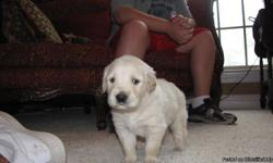 4 male English Cream golden pups. 1 stark white the others white with light golden tips. Both parents on site...Father is a 95 pound full English Cream; the mother is a 70 pound Light golden. Both dogs are great with kids and super protective. These boys