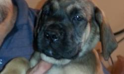 Big beautiful healthy Apricot Male born 6-2-14. Puppy is 23 pounds at 8 weeks. He will be a big boy. UTD on shots, worming and has been fully checked and cleared by our Vet. One year health guarantee, hips, elbows and eyes. Parents on site. Sire 217