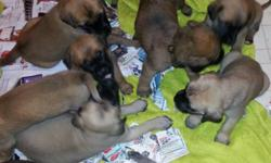 WE HAVE BEAUTIFUL FEMALES, &MALES .ENGLISH MASTIFF PUPPIES .THEY WILL BE 8WEEKS OLD READY TO GO TO GOOD HOME ON DEC23, just in time for Great christmas present!!! They come with Akc papers, 1st set of shots, wormed, Healthy vet check , Pedigree generation
