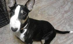We have a 4 year old female tri colored bull terrier for sale. We purchased her with the intent to breed but she has been unsuccessful. She is a very loving and loves to give kisses, and loves to sit in your lap on her back like a baby for a belly rub.