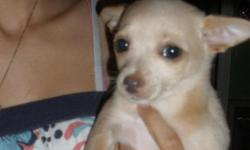 she is tan in color. 10 weeks old and registerd. she loves to play and cuddle. email me at nissanskyline3610@gmail