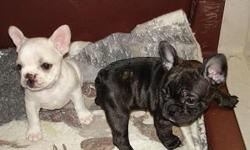 AKC French Bulldog puppies ready for you to take home. 2 females Champion bloodline, vet checked, 1st shots, health gaurentee. Please call 337-785-1638 or 337-581-4949
